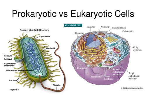 Prokaryotic v Euokaryotic