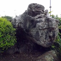 TREE STUMP AT THE BIG BANANA