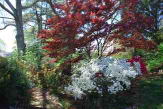 Spring is here - azaleas and Japanese maple