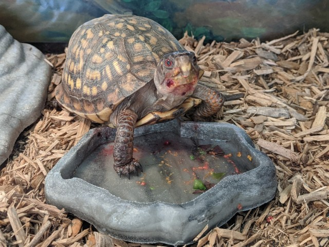 the box turtle looking at the camera, her face covered in food, while standing on her empty food dish