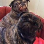 Brindle Pug Tumblr Posts Tumbral Com
