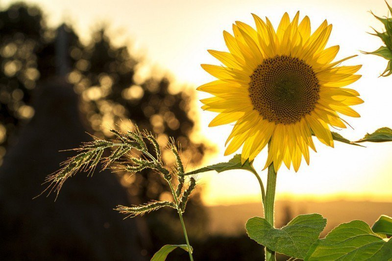 Girassol Landscape Screensaver Tumblr Picturesque Sunflowers