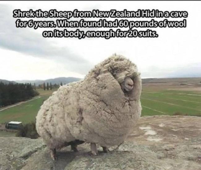 la oveja más peluda