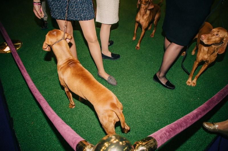 Собаки и их дрессировщики на выставке собак Вестминстерского Кеннел Клуба, проходившей в Мэдисон Сквер Гарден в Нью-Йорке, в феврале.