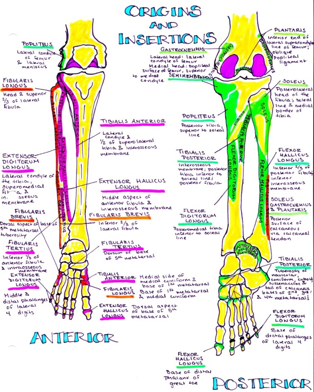 hanson's anatomy — muscular origins and insertions for the ...