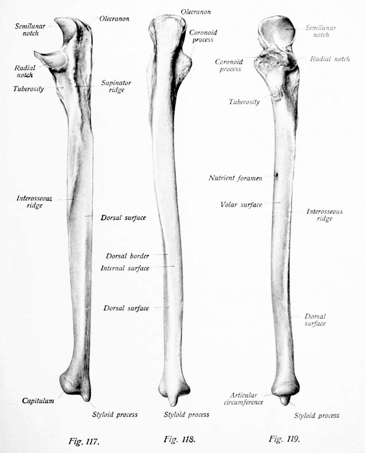 Bones Of Ulna