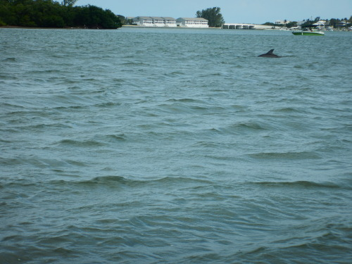A sighting of Coconut, the dolphin who swam up to a paddleboarder, from this most recent work in the field!