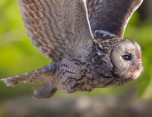 Eurasian Tawny Owl by JinHyouk Jang
