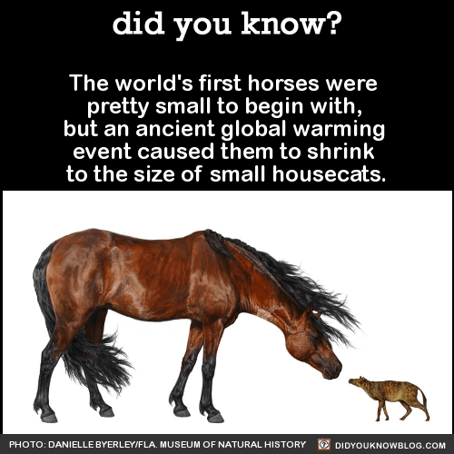 The world's first horses were pretty small to begin with, but an ancient global warming event caused them to shrink to the size of small housecats. Source Photo via: Wikipedia CC/Eduard Sola