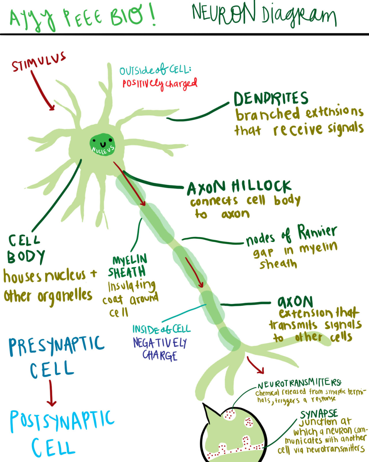 A Diagram Of A Neuron And Its Functions