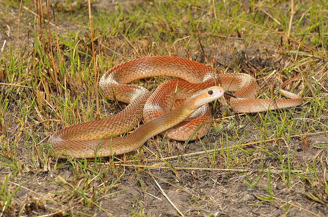 Image result for the coastal taipan