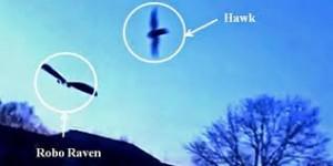 Hawk attacking Robo Raven Drone