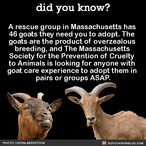 A rescue group in Massachusetts has 46 goats they need you to adopt. The goats are the product of over-zealous breeding, and The Massachusetts Society for the Prevention of Cruelty to Animals is looking for anyone with goat care experience to adopt...