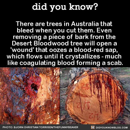 There are trees in Australia that bleed when you cut them. Even removing a piece of bark from the Desert Bloodwood tree will open a 'wound' that oozes a blood-red sap, which flows until it crystallizes - much like coagulating blood forming a scab....