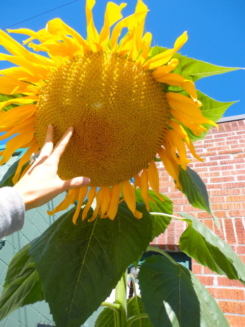 """Today I found what I perceive to be the world's largest sunflower. I wanted to tell a cool story about how I stumbled upon it, but all that really happened was that I walked down the sidewalk, saw this sunflower and said """"holy freakin' cow, that's..."""