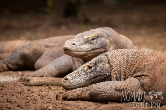 Komodo national park indonesia island tropical Asia indo pacific dry wet mud resting wildlife animal creature dangerous heat environment climate wild travel Komodo dragon lizard reptile