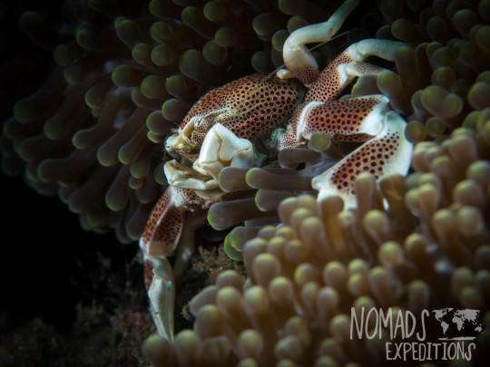 underwater photography ocean sea Indonesia marine indo pacific tropical coral reef diving scuba snorkel animal wild color Bali spotted porcelain crab anemone