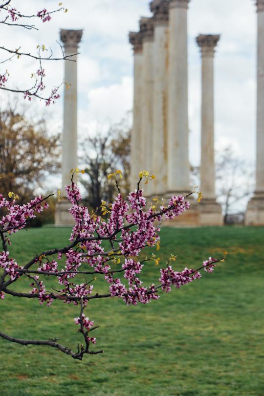 cherry blossoms Washington DC Arboretum