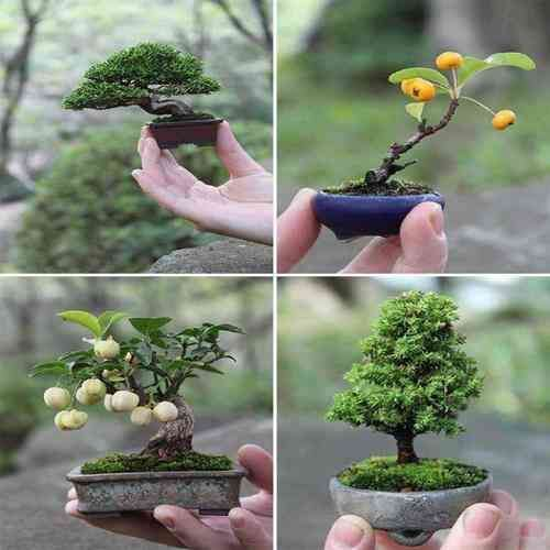 What Is A Bonsai Tree How Does It Affect Our Environment Atmosphere