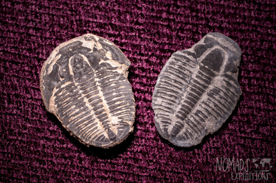 adventure fossils desert southwest trilobites digging collecting hounding rock Utah dig