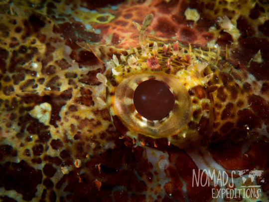 underwater photography ocean sea Indonesia marine indo pacific tropical coral reef diving scuba snorkel animal wild color Bali scorpion fish eye sting hidden