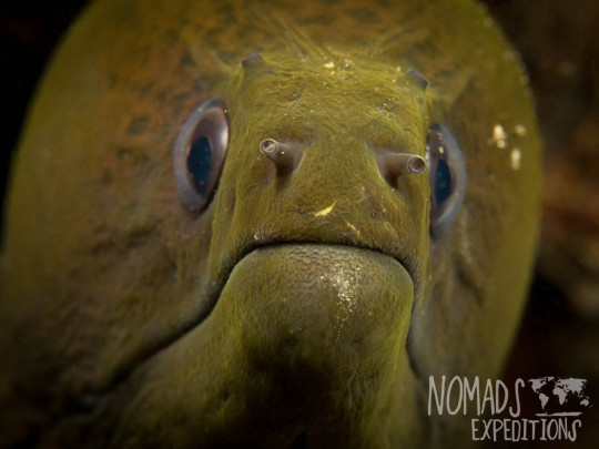 underwater photography ocean sea Indonesia marine indo pacific tropical coral reef diving scuba snorkel animal wild color Bali moray eel eyes face snout nose mouth green