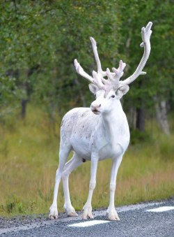 coolthingoftheday:A rare white reindeer was spotted near Malå, Sweden by Reddit user /u/nlsoy. (Source)