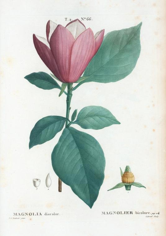 Pierre Joseph Redouté, Magnolia discolor, 1801-19. Stipple engravings. For Duhamel du Monceau's Traite des arbres et arbustes, France. Via NYPL