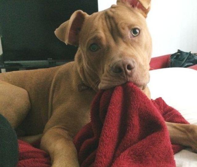Judul Ini Ane Bikin Karena Itulah Penilaian Untuk Anjing Pitbull Ane Di Rumah Mereka Itu Terlihat Seperti Sangat Menakutkan Tetapi Sebenarnya Mereka Sangat