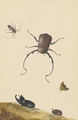 """thegetty:  While these illustrated insects appear incredibly lifelike, Dutch artist, Nicolaas Struyck, likely worked from dead specimens that had been a part of a wealthy person's """"curiosity cabinet"""" collection. Through the 17th and 18th centuries, collecting exotic flora and fauna became a way to emote status among the elite. We know that the rare long horned beetle is native to Indonesia, which was a Dutch colony in Struyck's time. The creature was likely brought to the Netherlands where it would have probably been showcased with items ranging from artworks to shells, crystals, minerals. The collections were seen as a microcosm of the universe, """"juxtaposing the wonders of man with those of God or nature."""""""