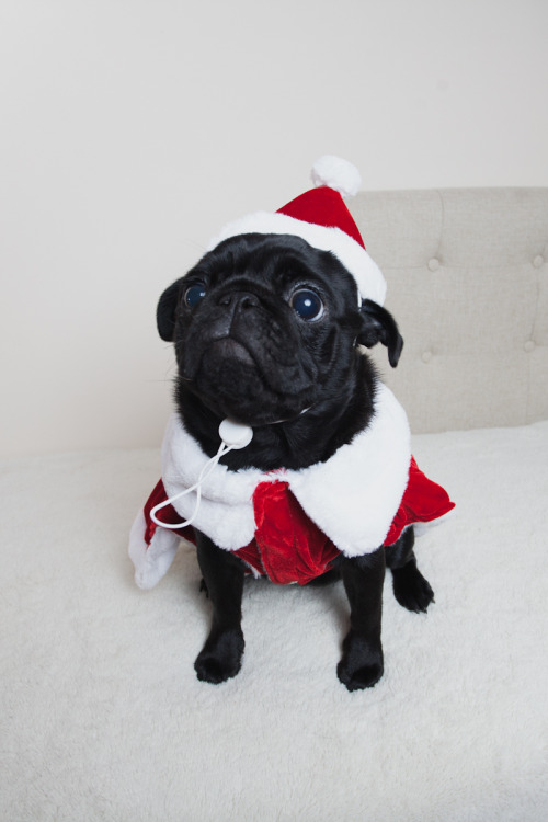 Cute Christmas Pugs Tumblr