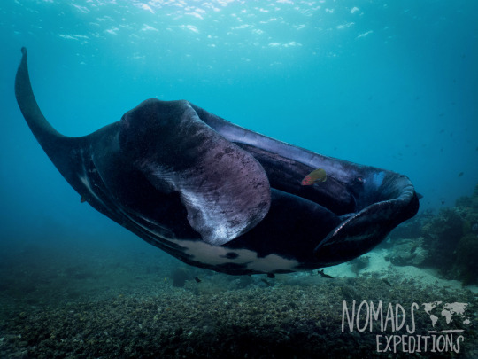 manta ray underwater animal filming scuba diving indonesia Komodo national park indo pacific blue animal wildlife
