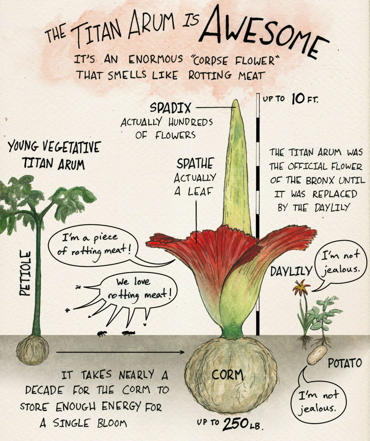 Skunk Bear The Blooming Of An Amorphophallus Titanum Aka