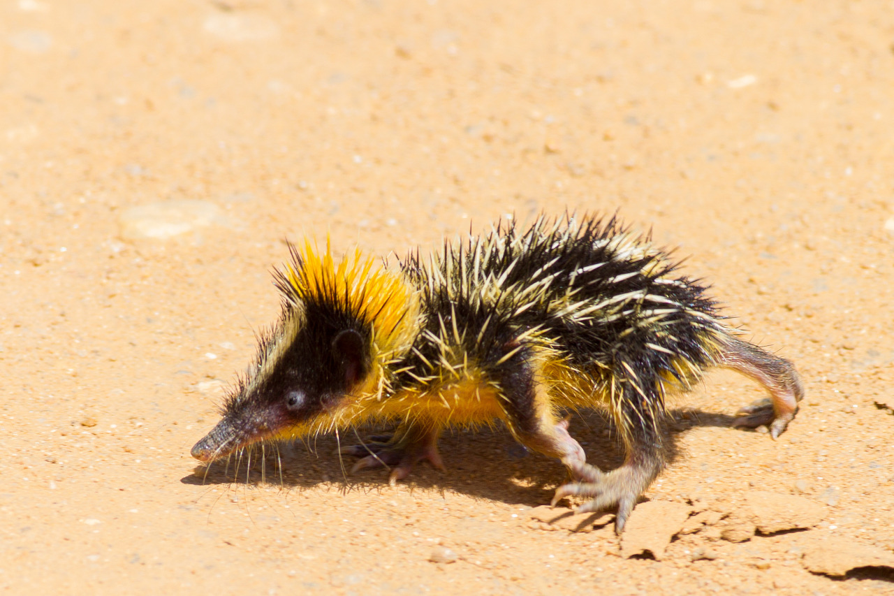 Image result for lowland streaked tenrec