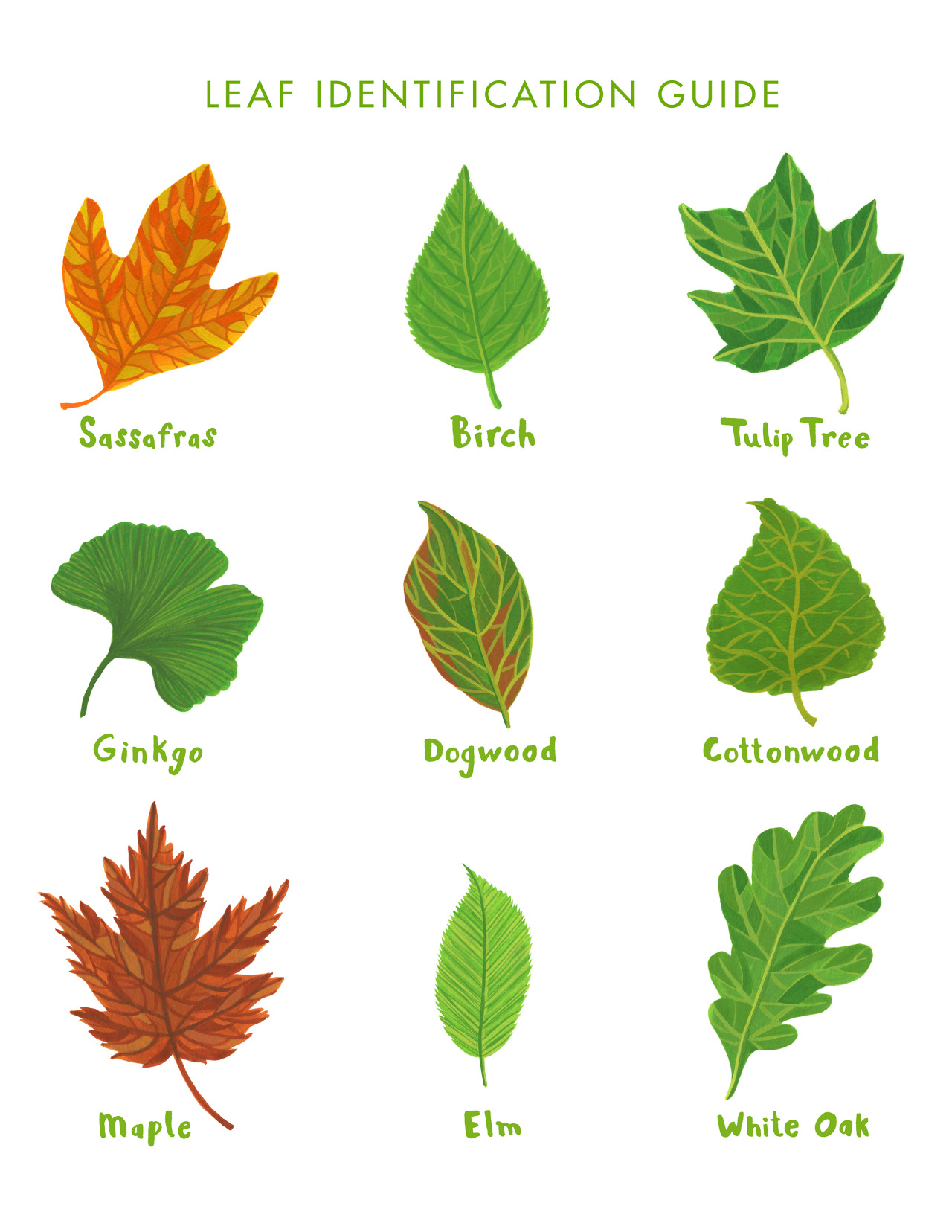 Leaf Identification Guide For Adventure In The
