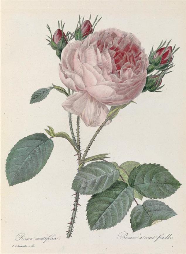 Pierre-Joseph Redouté, Rosa centifoglia, 1835. E. Panckoucke, Paris. France.