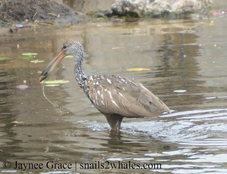 Limpkin with a Paper Pondshell in its mouth. Photo taken in Lake Region Village on Lake Hamilton