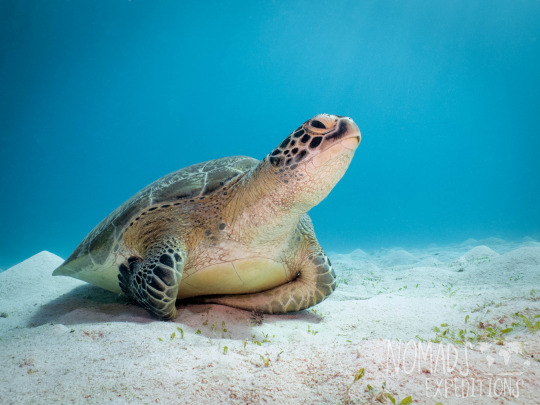 tropical coral reef photography underwater animal filming scuba diving indonesia Komodo national park indo pacific blue animal wildlife green turtle sea resting sand bay