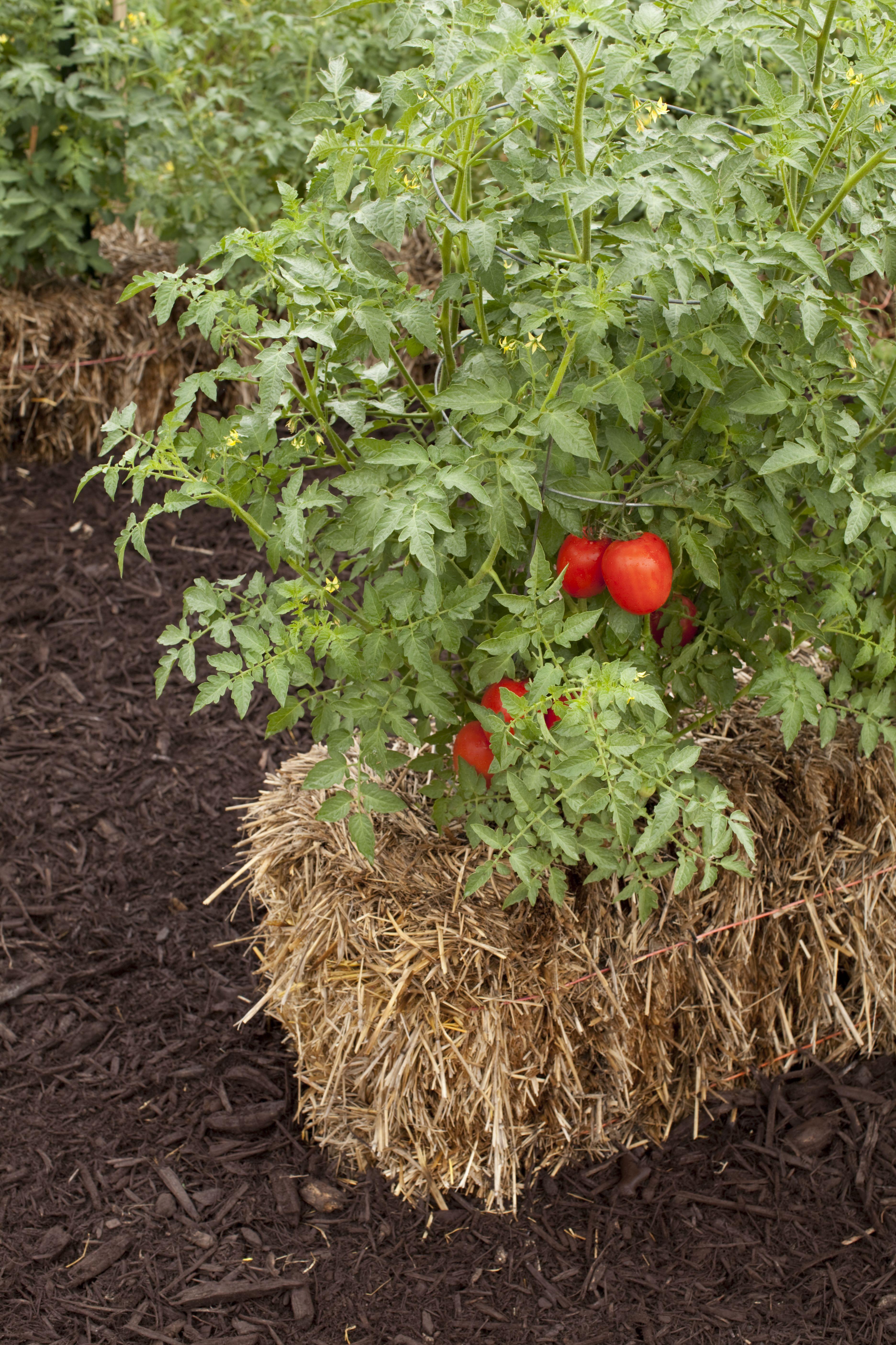straw bale gardens shorter days to maturity 6ftmama com