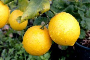 Бергамот: что это за растение и как оно выглядит, фото ...