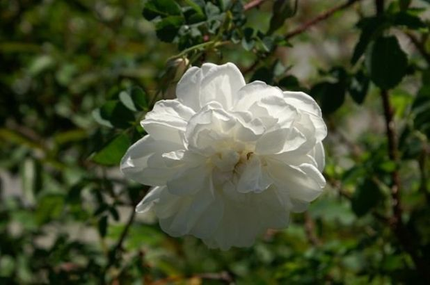 18 Most Beautiful Species Of Roses To Beautify Your Garden
