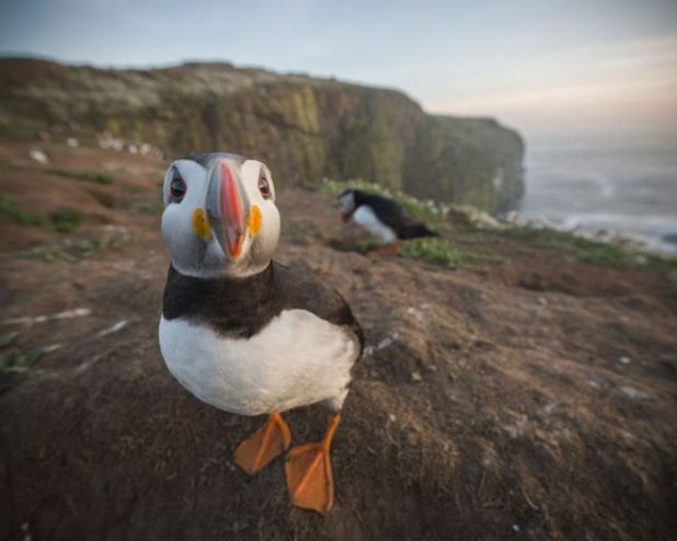 The Perfect Puffin Portrait Captured