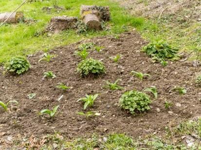 wild garlic and geranium bed