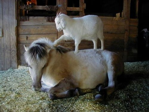 Image result for comfort goat