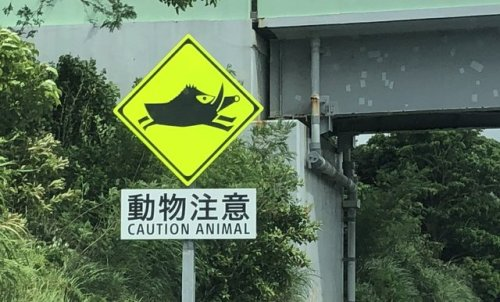 tumblr_pdcbxaAIPO1qz6f9yo1_500 Wild boar warning Random