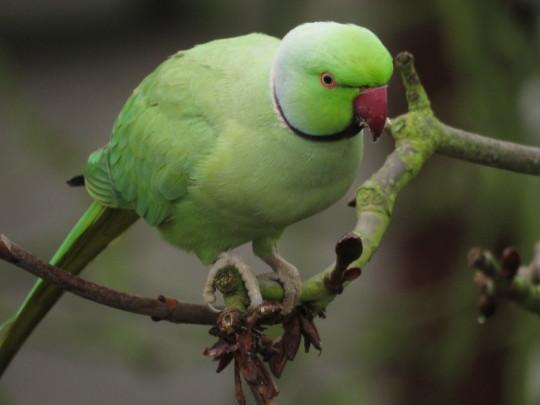 Ring-necked parakeet at Kew Gardens.