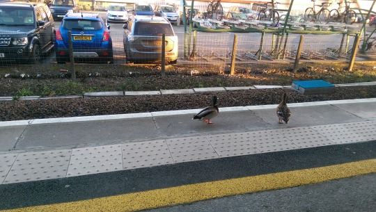 Ducks at Chippenham Train Station