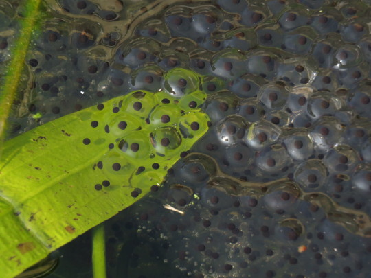 Frog spawn in a garden pond, Chippenham, Wiltshire, UK.