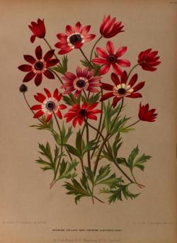 heaveninawildflower:Spring flowers taken from 'Album van Eeden' (1872).Published by de Erven Loosjes, Haarlem Publishers.  Missouri Botanical Garden. http://www.biodiversitylibrary.org/permissionsarchive.org