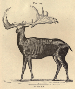 nemfrog:Fig. 109. The Irish Elk. Fourteen weeks in popular geology. 1877.